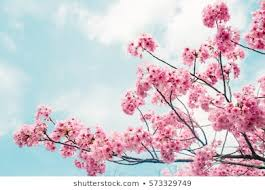 beautiful cherry blossom sakura in spring time over blue sky