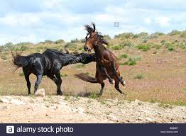 wild horses mustang fighting. Plain Fighting Wild Mustangs Stallions Fighting  Stock Image For Horses Mustang Fighting S