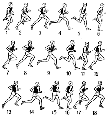 Реферат Техника бега на длинные дистанции Судейство  До момента вертикали последующие кадры мышцы бегуна растягиваясь и напрягаясь подготавливаются к сокращению в фазе отталкивания