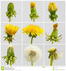 Dandelion Growth Chart Growth Period Stock Photo Image Of Biology Frame Birthday