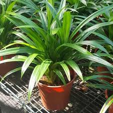 Image result for pandan leaf
