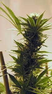 Weed Phone Wallpapers - Top Free Weed ...