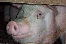 Работа на свиноферме Польша