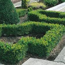 Small Picture lavender edges the four square garden formal box hedge