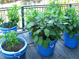patio vegetable garden. vegetable gardening in blue containers for small patio spaces with oak hardwood floor tiles and iron railings painting black color ideas garden v