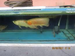 Arowana Keeping Breeding In Aquarium Hengki Red Arowana