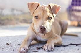 My Pitbull Dog HD Wallpapers New Tab ...