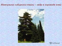 Презентация на тему МОУ Новоаганская общеобразовательная  5 Жемчужина сибирской тайги кедр в хороводе елей