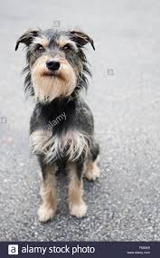 black wire haired terrier mix.  Haired Full Body Adorable Medium Size Gray Wire Haired Terrier Mix Dog Sitting  Tall On Faded Black With Black Wire Haired Terrier Mix