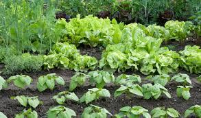 starting a vegetable garden