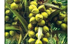 coconut tree the wonder tree of sri lanka