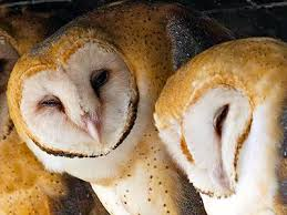 Image result for barn owls jigsaw puzzle