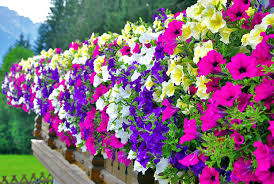 create a wall of colour by growing petunias in window boxes
