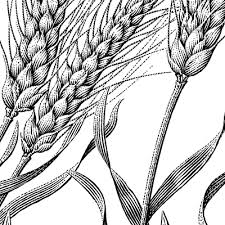 wheat drawing. Unique Drawing Wheat Illustration  Google  And Wheat Drawing A