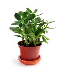 office plants no light. How To Plant, Grow, And Care For Jade Plants Office No Light