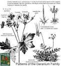 family geraniaceae
