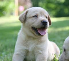 yellow lab puppies for sale. Interesting Yellow Yellow Lab For Sale By Breeder Puppy  Throughout Puppies E