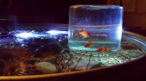 Cool Aquariums Posted My Goldfish Viewing Jar A Few Months Back Took This Cool