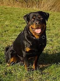 rottweiler dog mean. health[edit]. rottweiler dog mean