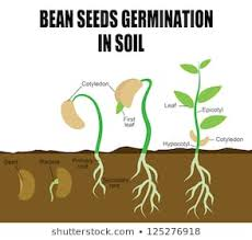 Germinating Seed Images Stock Photos Vectors Shutterstock