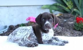 german shorthaired pointer love to ads