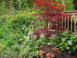 Small Picture Japanese Maple Fireglow ProbrainsOrg