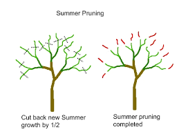 Pruning Peach Trees With Simple Instructions And PicturesCan You Prune Fruit Trees In The Summer