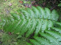 Woodwardia radicans - Wikipedia