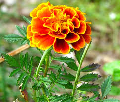 marigolds and miscellany piedmont gardener marigolds and miscellany
