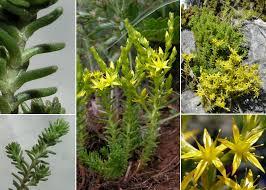 Sedum sexangulare L. - Sistema informativo sulla flora vascolare ...