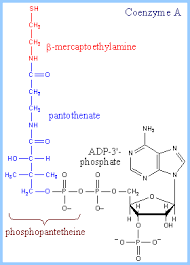 fatty acid synthesisthe thiol of phosphopantetheine  which is equivalent in structure to part of coenzyme a  structures at right  amp  below