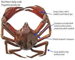 Crab Species Chart Odfw Recreational Crab Fishing Crab Id