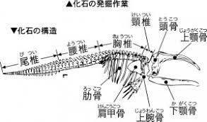Image result for 1961年 - 多摩川の河原にてアキシマクジラの化石が発見