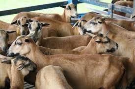 Resultado de imagem para imagens de receitas DE ovinos