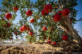 Hachiya Persimmon  Persimmon Tree From Paradise NurseryIranian Fruit Trees