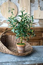 Image result for olive trees potted in france