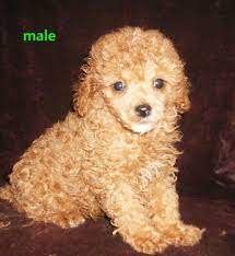 toy poodle male pup in gold