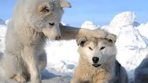 wolf puppies wallpaper.  Wallpaper Puppies HD Wallpaper To Wolf