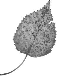 葉っぱや草木のイラスト画像フリー素材白黒no383白黒葉