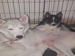 siberian husky cross samo middlewich cheshire pets4homes samo cross husky puppies