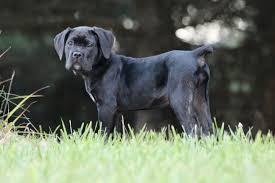 rothorm cane corso puppy sanroccocaneco