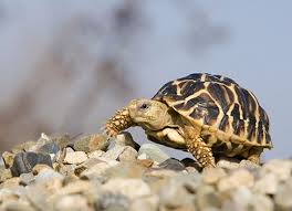 Indian Star Tortoise Diet Chart Indian Star Tortoise Care Sheet Reptile Centre