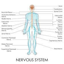 Back Nerve Chart Nerve Structures Of The Spine