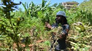 Resultado de imagen para pic of marijuana farm