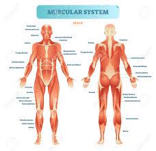 Muscle Diagram Wiring Diagram