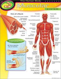 Trend Enterprises The Human Body Muscular System Learning