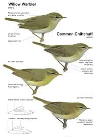 Warbler Id Chart Pin By Hank Tt On Bird Identification Tips Willow Warbler