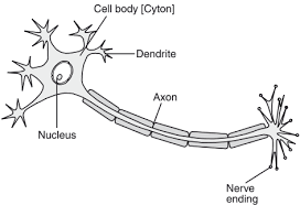 Draw The Structure Of Neuron And Label Cell Body And Axon