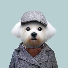 maltese dog. maltese dog - canis lupus familiaris