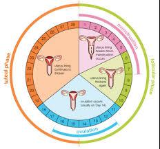 Ovulation Chart Ovulation Calendar Printable Week Calendar
